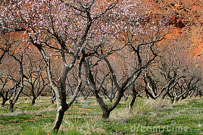Fruit Trees And Red Rock Moab