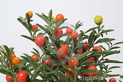 Fruitplant