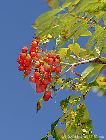 Fruits of the European Rowan