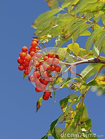 Fruits of the European Rowan