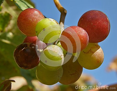 Fruits of grapes in different colors