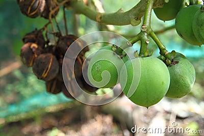 Fruits of Jatropha Curcas