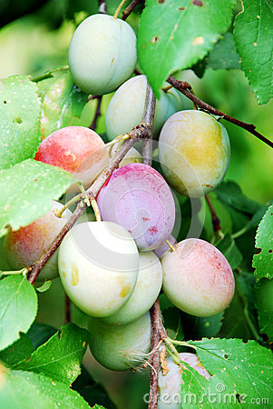 Fruits of plum tree