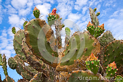 Fruits of prickly pear