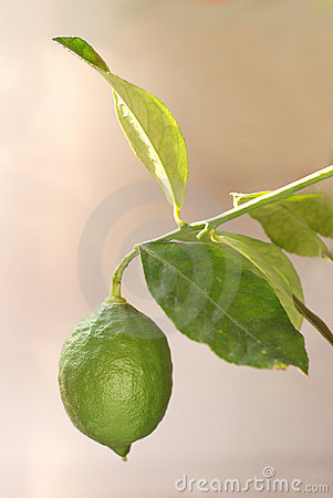 Frunchgreen växer den enkla citronen