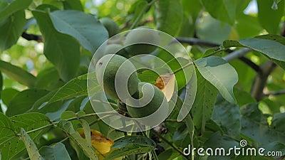 Fruta de noz na árvore vídeos de arquivo