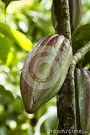 Fruta del cacao