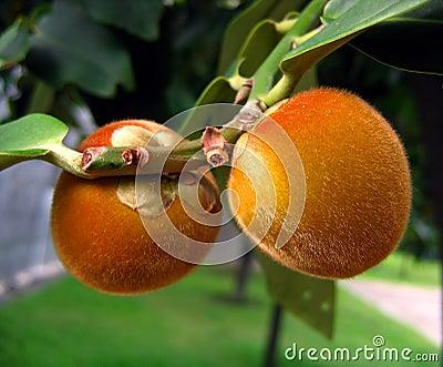 Frutas peludas