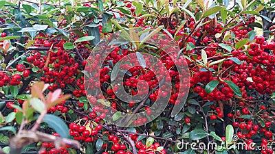 Frutos rojos de Hippophae rhamnoides en otoño en el parque Muhe Wetland, condado de Ju, Rizhao, Shandong, China almacen de video