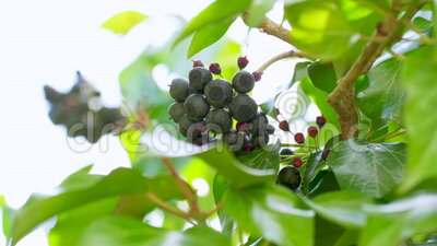 Frutta di Ivy stock footage