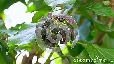 Frutta di Ivy archivi video