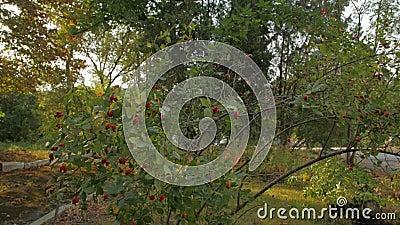 Frutta a fieno di rose archivi video