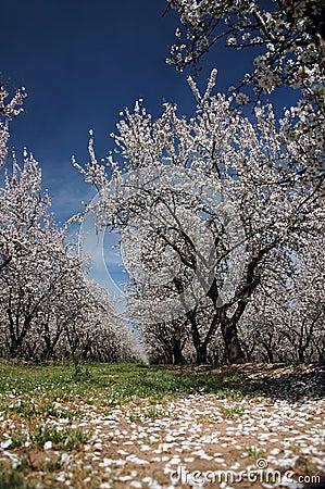 Frutteto della mandorla in fioritura