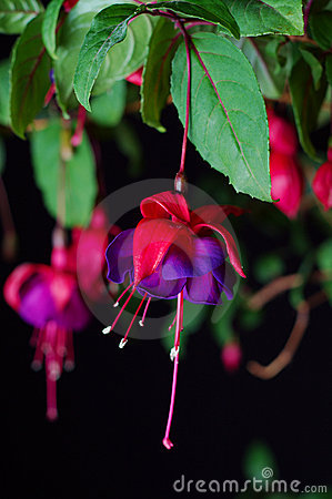 Fuchsia bloom