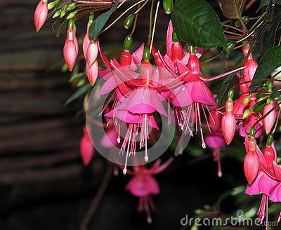 Fuchsia In Bloom Stock Photo