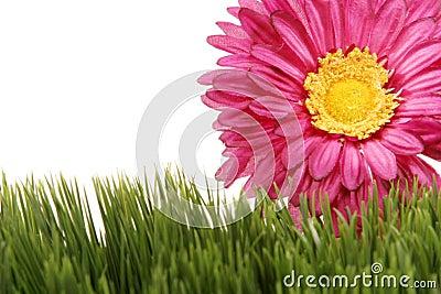 Fuchsia color gerbera daisy flower on green grass