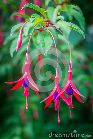 Free Fuchsia Flowers Royalty Free Stock Images - 52353479