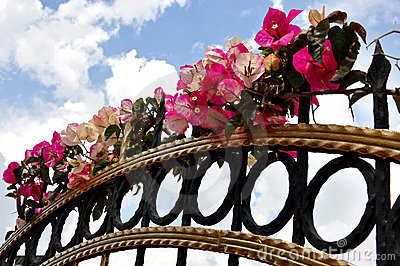 Fuchsia flowers on fence