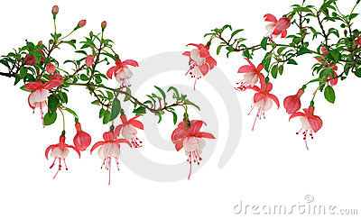 Fuchsia Flowers Over White Background Stock Photo - Image: 21391180