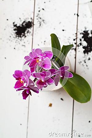 Fuchsia Phalaenopsis flower in a ceramic pot