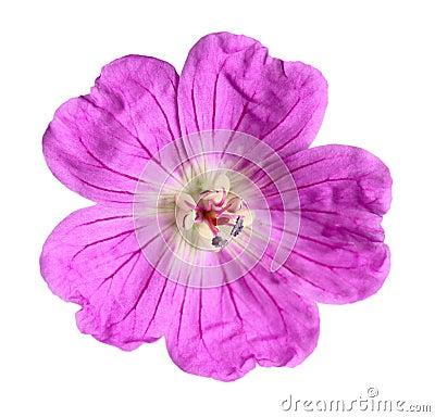 Fuchsia Wildflower