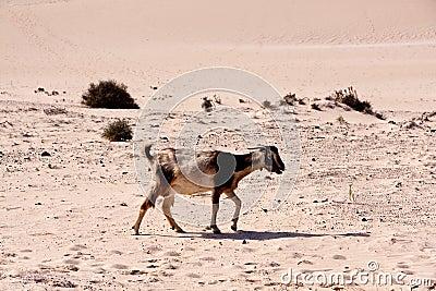 Fuerteventura,goat in the desert