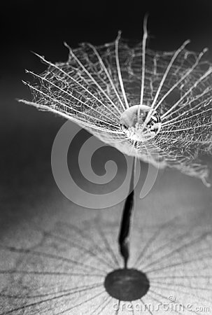 Free Fulff Of Dandelion Seed Royalty Free Stock Image - 104564946