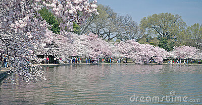 Full Bloom - Tidal Basin - Washington, DC