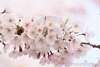 Full bloomed cherry blossoms