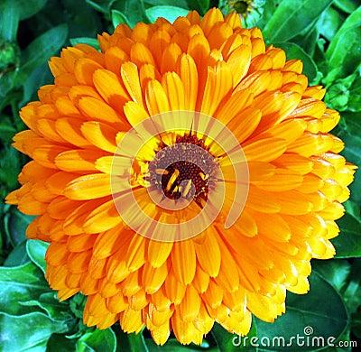 Full Blossom
