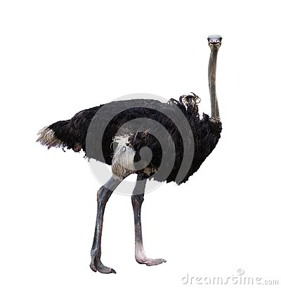 Free Full Body Of African Ostrich Isolated White Background Royalty Free Stock Photography - 106719047