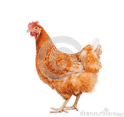 Free Full Body Of Brown Chicken Hen Standing Isolated White Backgroun Stock Image - 49613241