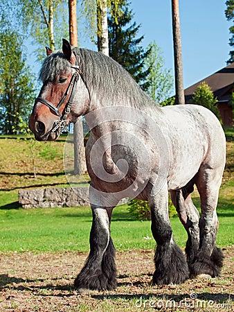 Free Full Body Shot Of A Belgian Draught Horse. Stock Photos - 40984313