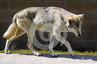 Full Body Timber Wolf