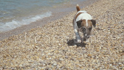 Full of energy Jack Russell Terrier dog running. And playing on the pebble beach stock video footage