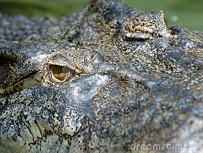 Full frame huge saltwaer crocodile ,thailand,asia