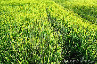 Full green rice paddy fields.