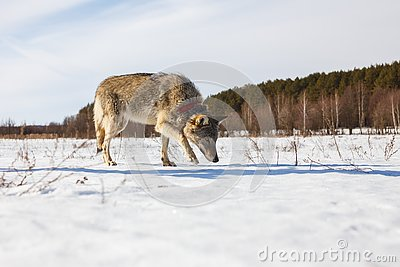 A full-grown gray wolf sneaks along a snowy winter field amid a forest Stock Photo