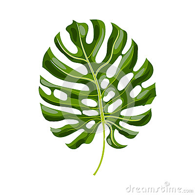 Free Full Leaf Of Monstera Palm Tree, Vector Illustration Stock Images - 82092454