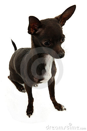 Full Shot Of Chihuahua