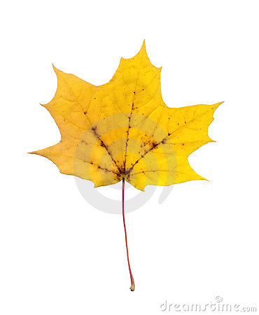 Full-size maple autumn leave