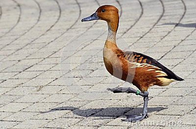 Fulvous Whistling Duck walking on cobblestones