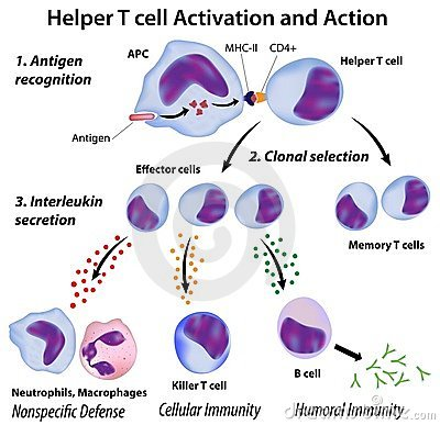 Function of T helper cells