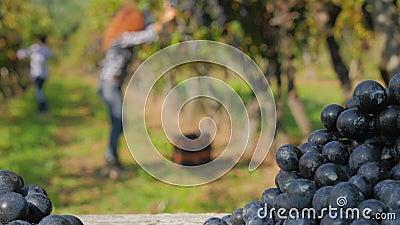 Fundo com as mulheres defocused que colhem uvas video estoque