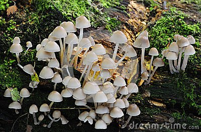 Funghi del trapuntare dello zolfo (fasciculare di Hypholoma)