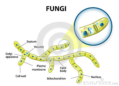 Fungi Cell Stock Vector  Image  49947916