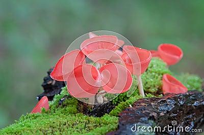 Fungi cup red mushroom or champagne mushrooms