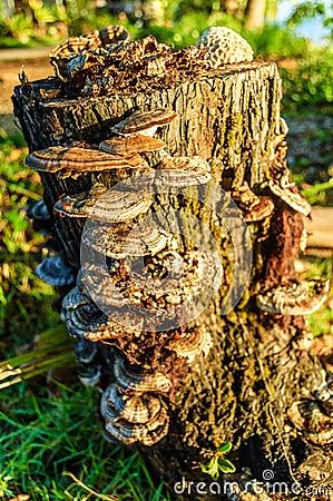 Free Fungi Growing On Tree Stump Stock Photos - 73601623