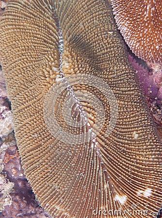Fungia Coral (closeup)