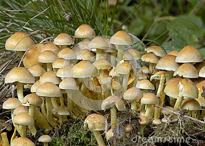 Fungos do topete do enxofre